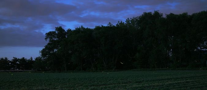 799px-Fireflies
